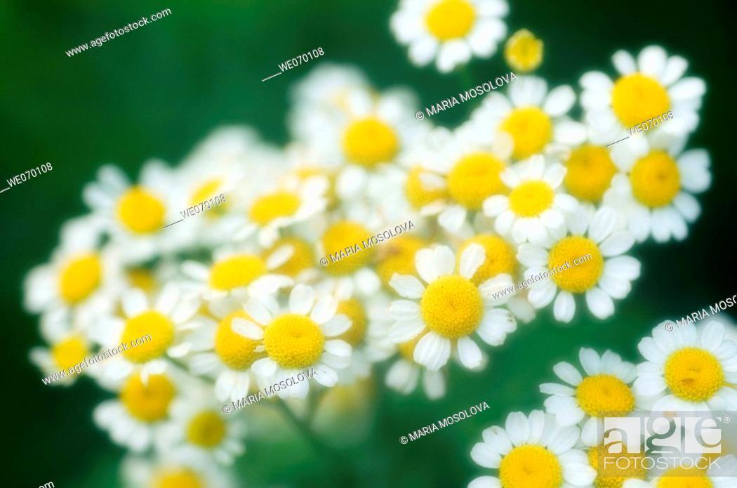 Stock Photo: Feverfew Daisies. Tanacetum parthenium.