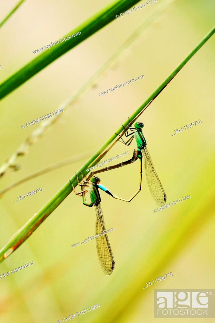 Stock Photo: DAMSELFLY, mating, Borneo.