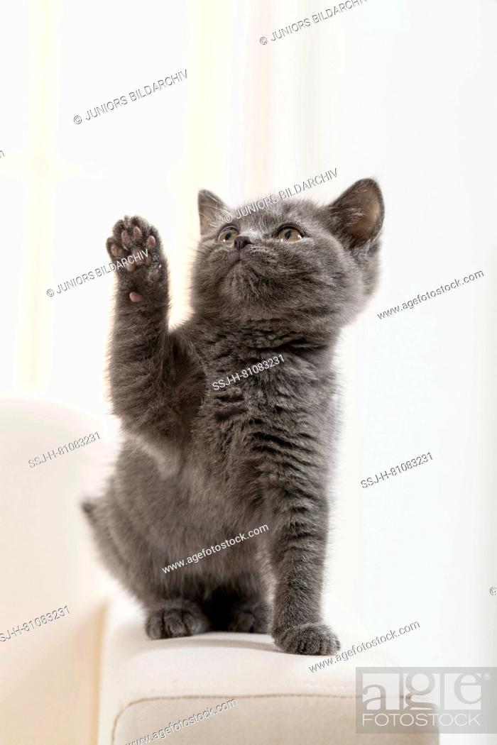 Stock Photo: Chartreux cat. Kitten standing on a couch, with front leg raised. Germany.
