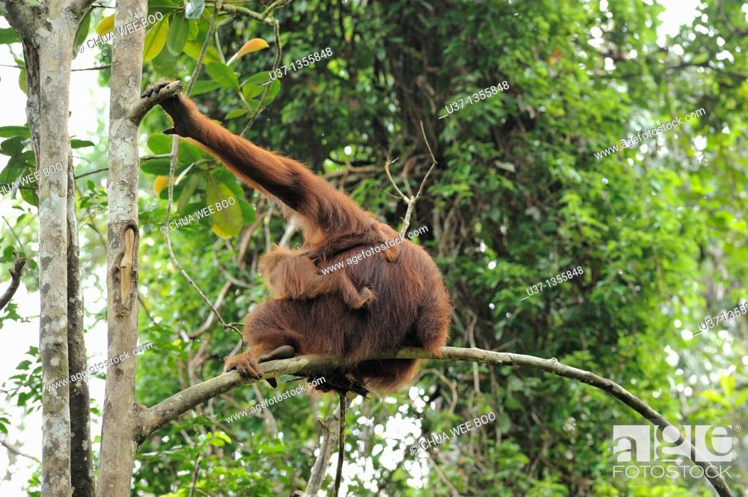 Stock Photo: Orangutan. Semengoh Wildlife Centre, Sarawak, Malaysia.