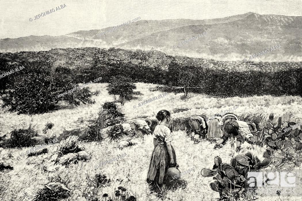 Stock Photo: Mowing, painting by Angel Andrade Bláazquez (1866-1932) 19th Century Spanish painter. Spain, Europe. Old XIX century engraved illustration from La Ilustracion.