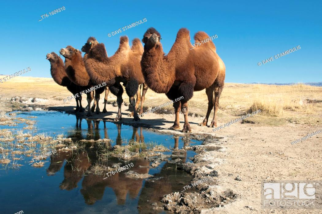 Stock Photo: twin humped Bactrian camels in the Gobi Desert of Mongolia.