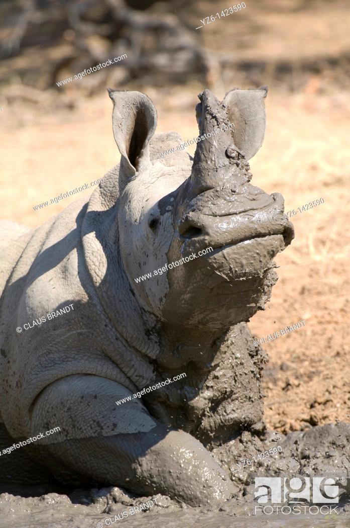 Stock Photo: Square-lipped rhinoceros (Ceratotherium simum) mudbathing, Greater Kruger Park, South Africa.
