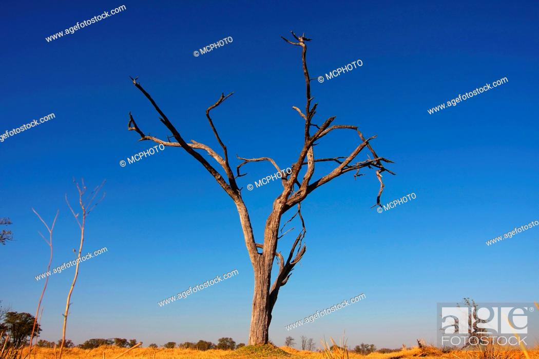 Stock Photo: acacias Acacia spec., dead tree, Botswana, Okavango, Moremi Game Reserve.