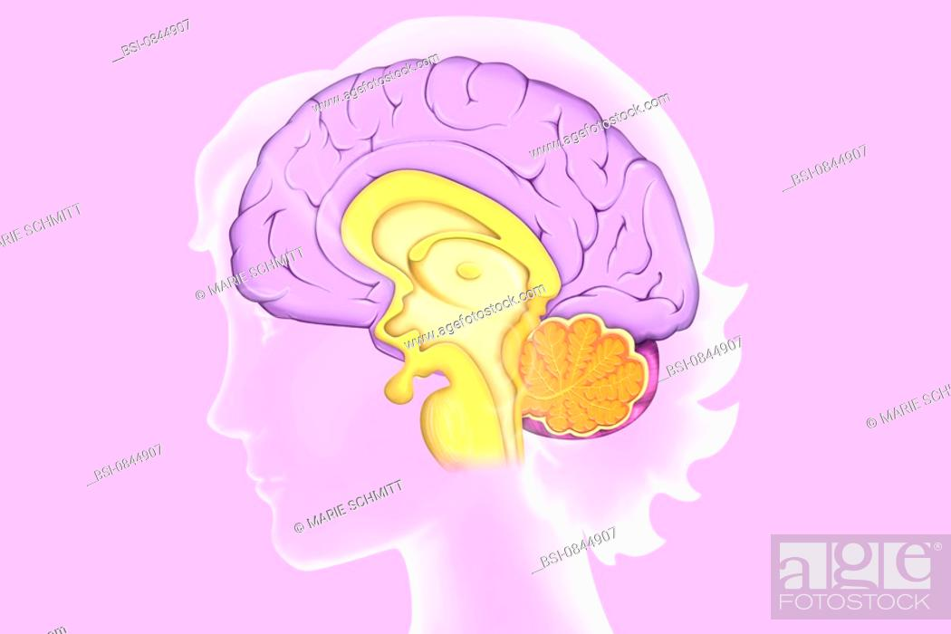 BRAIN, DRAWING Anatomy of the encephalon mediane cutaway-view, Stock ...