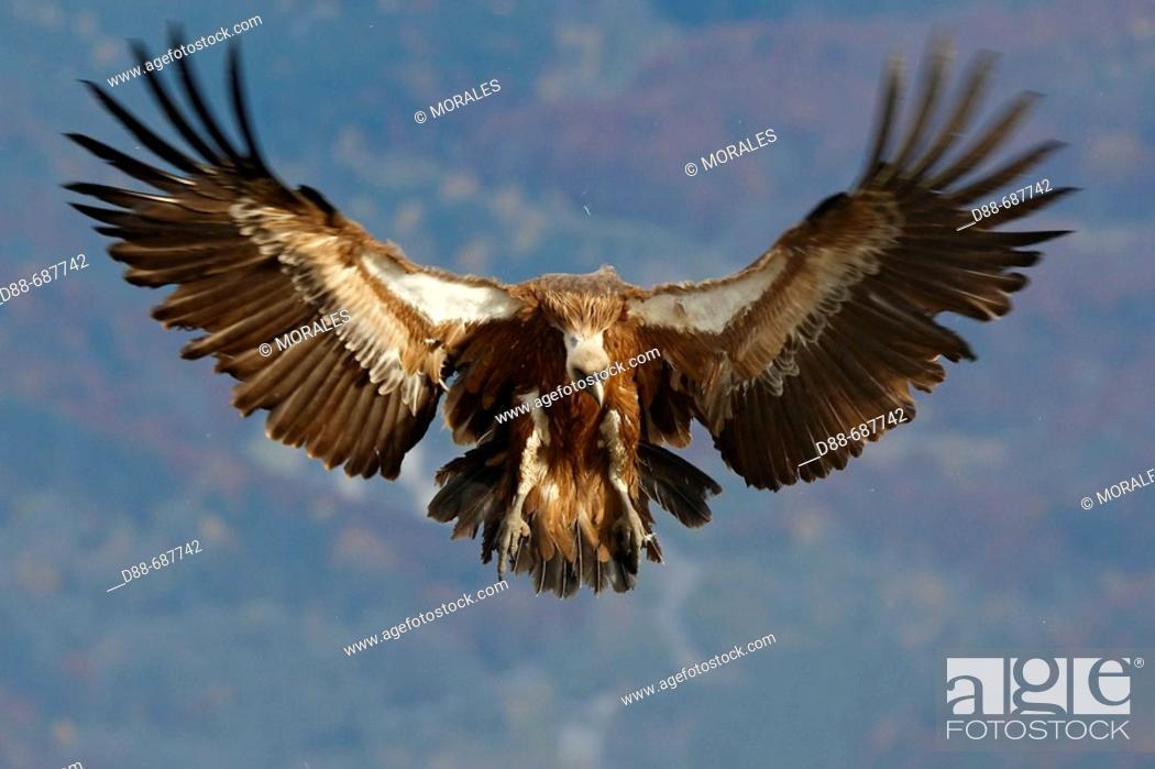 Stock Photo: Eurasian Griffon Vulture (Gyps fulvus) in a feeding facility for necrophagous birds.