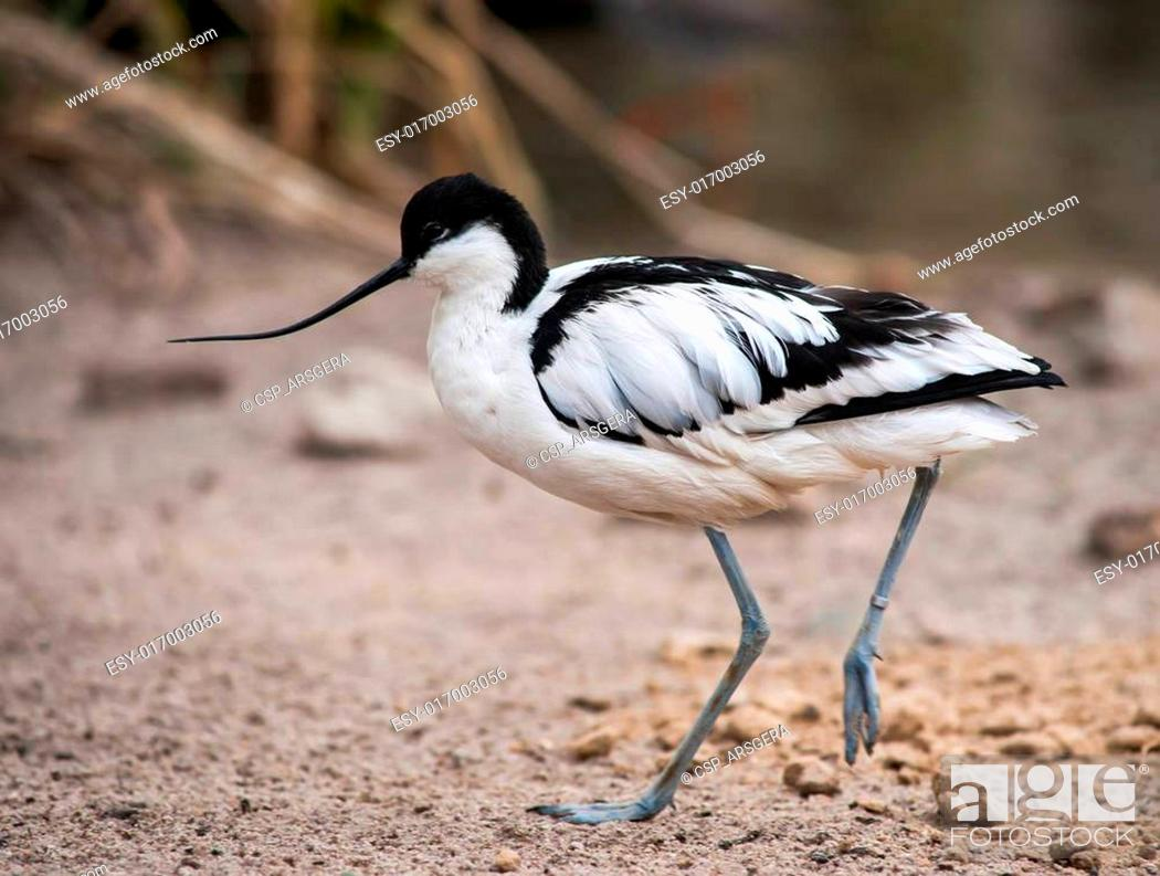 Stock Photo: Wader: black and white Pied avocet.
