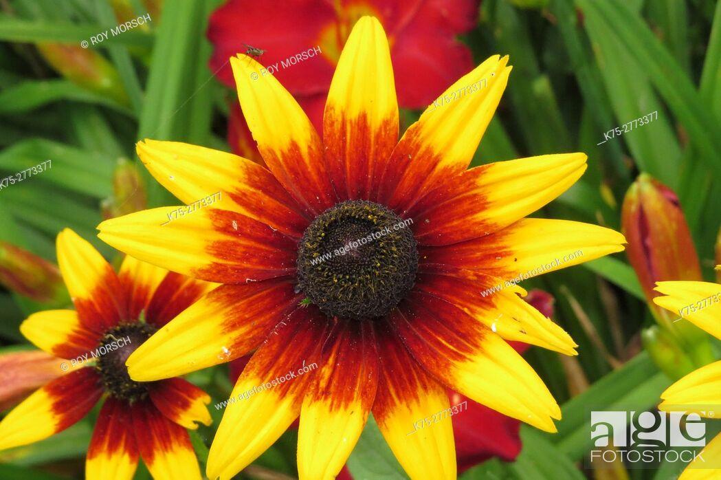 Imagen: Blanket Flower, Gailardia.