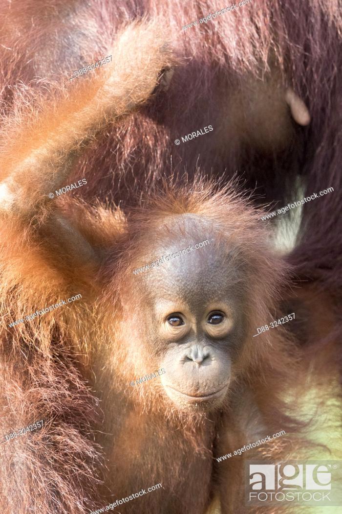 Stock Photo: Asia, Indonesia, Borneo, Tanjung Puting National Park, Bornean orangutan (Pongo pygmaeus pygmaeus), Baby.