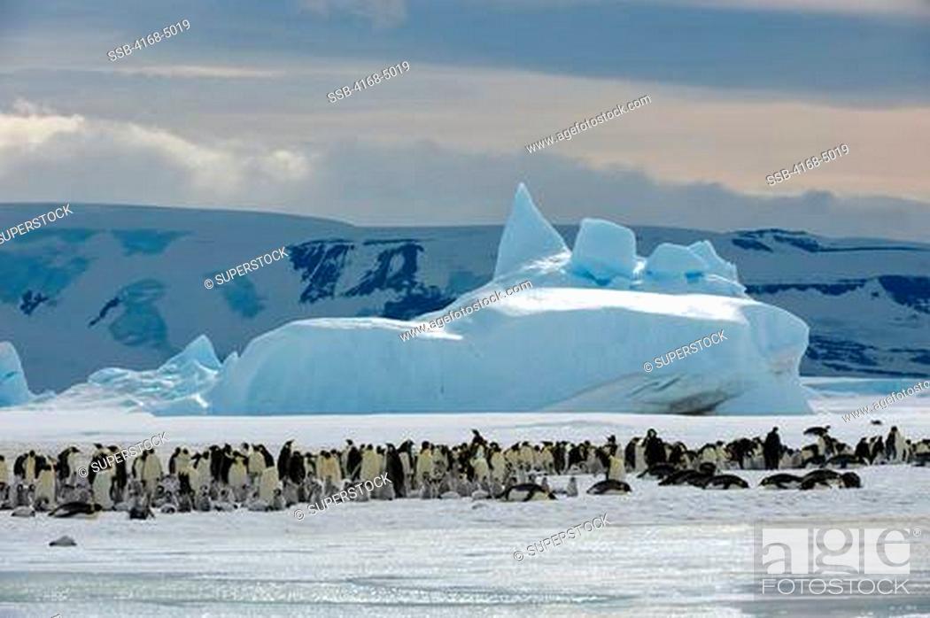 Stock Photo: antarctica, weddell sea, snow hill island, emperor penguin colony aptenodytes forsteri on fast ice.
