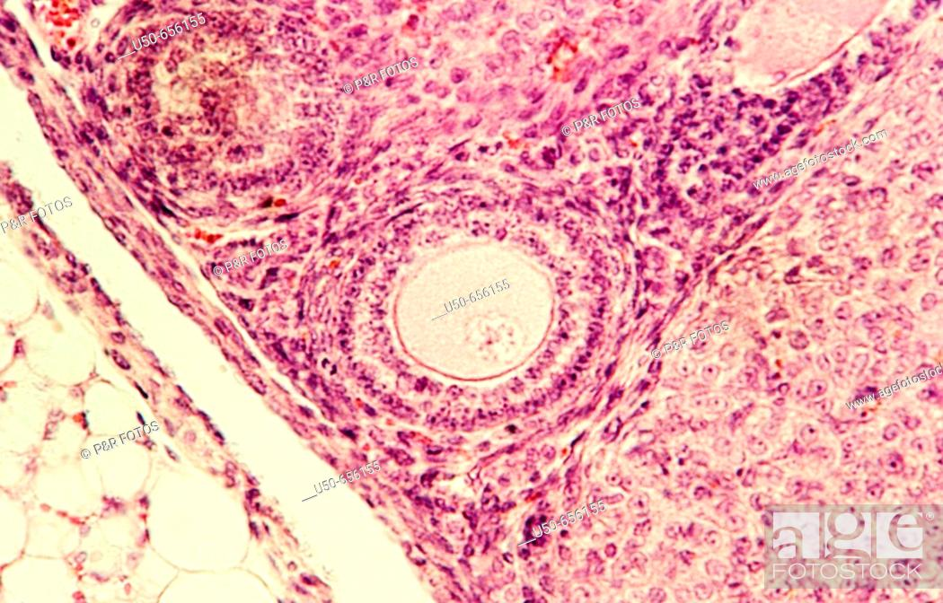Stock Photo: Rat ovary, 400 X  optical microscope, photomicrography , histology , reproductive system.