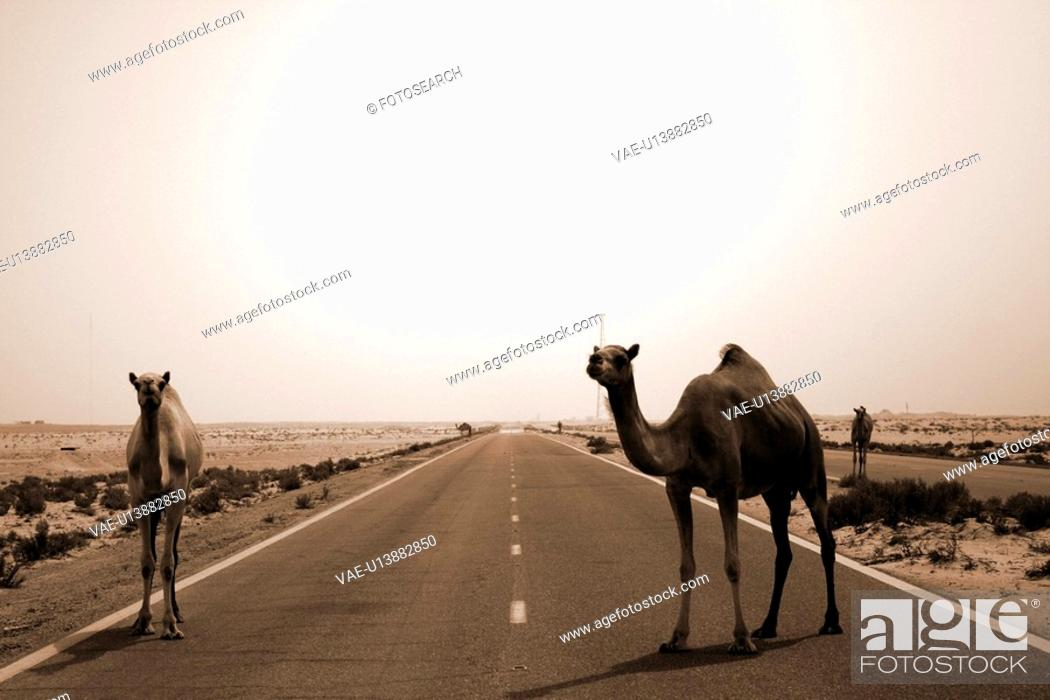Stock Photo: road, camels, Arabic.