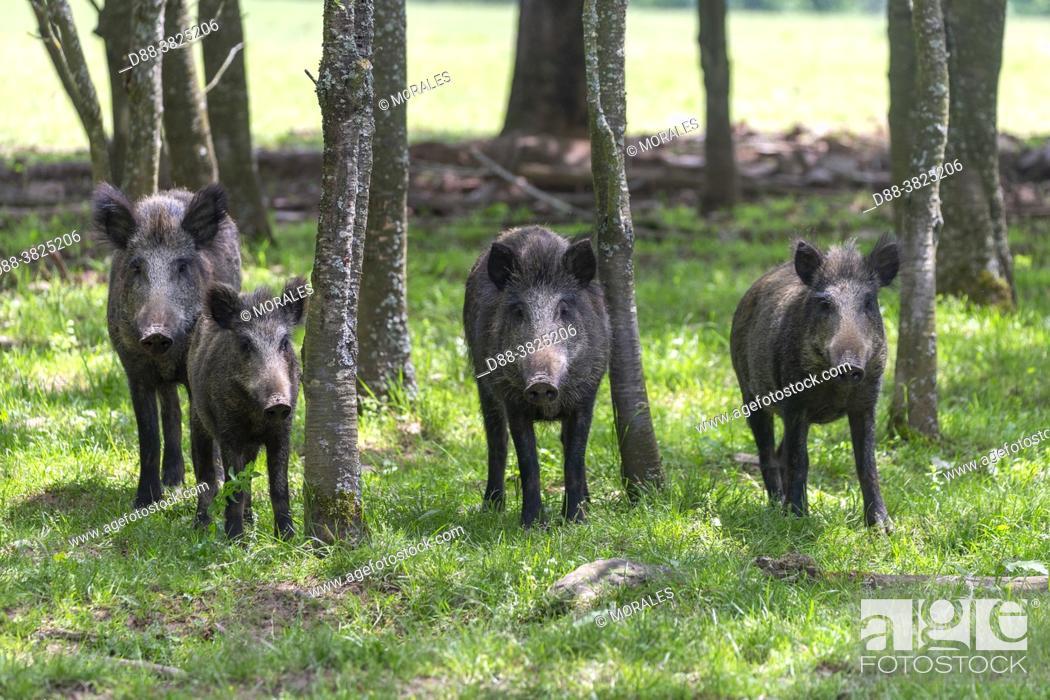 Photo de stock: France, Haute Saone, Private park, Wild Boar (Sus scrofa), in the woods.