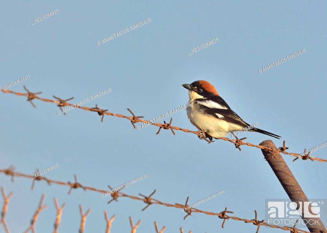 Photo de stock: Woodchat Shrike (Lanius senator), Crete.