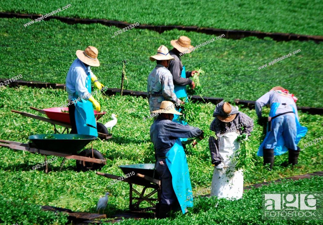 Stock Photo: Harvesting watercress, Hawai'i, USA.