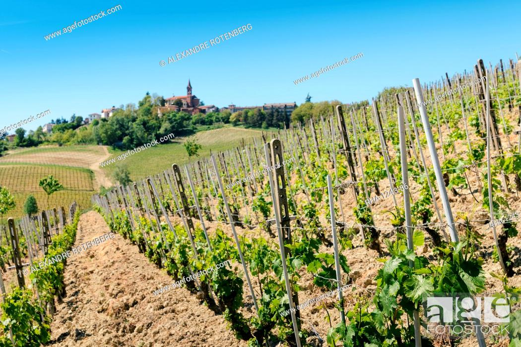 Stock Photo: Vineyards in the Piedmont region of northern Italy, Europe.