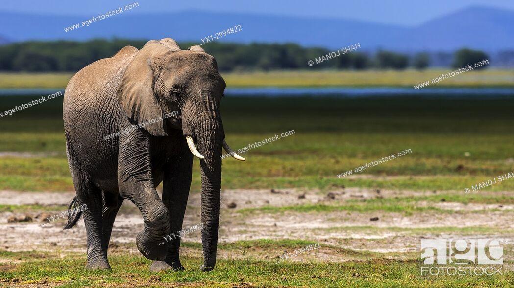 Photo de stock: African Elephant walking on marshy area of Amboseli National park, Kenya.