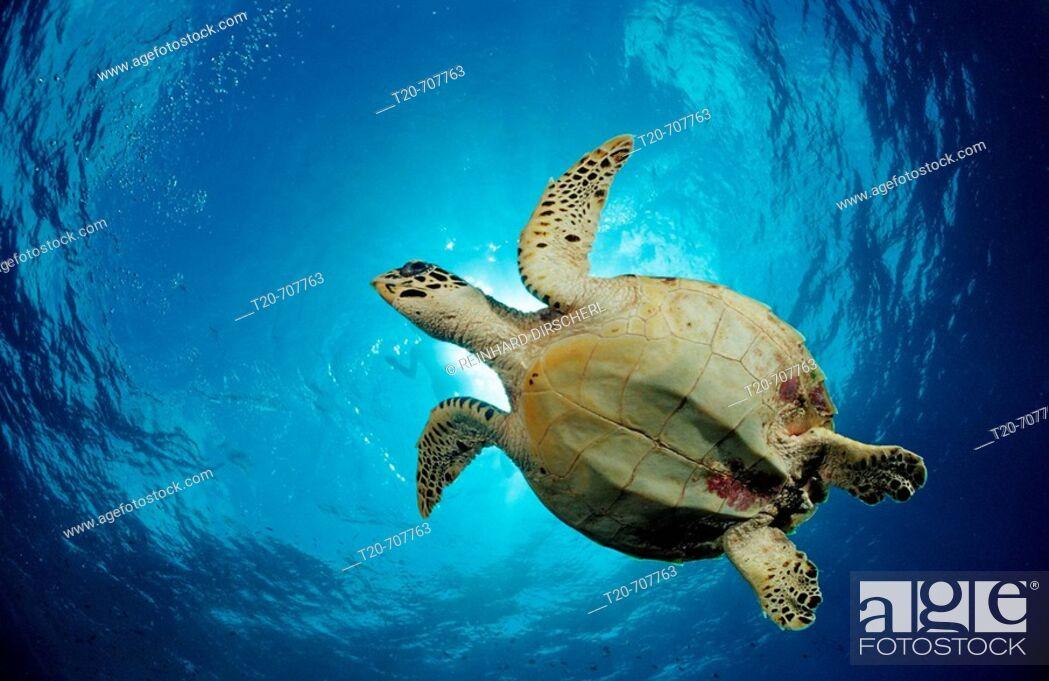 Stock Photo: Hawksbill Turtle, Eretmochelys imbricata, Maldives, Indian Ocean, Meemu Atoll.