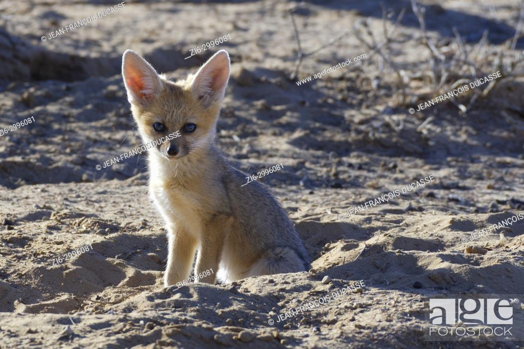 Stock Photo: Young Cape fox (Vulpes chama), sitting near the burrow, morning light, Kgalagadi Transfrontier Park, Northern Cape, South Africa, Africa.