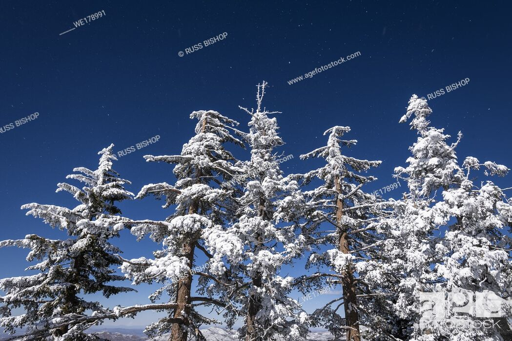 Imagen: Snow flurries and rime ice on pines in the San Bernardino Mountains, San Bernardino National Forest, California USA.