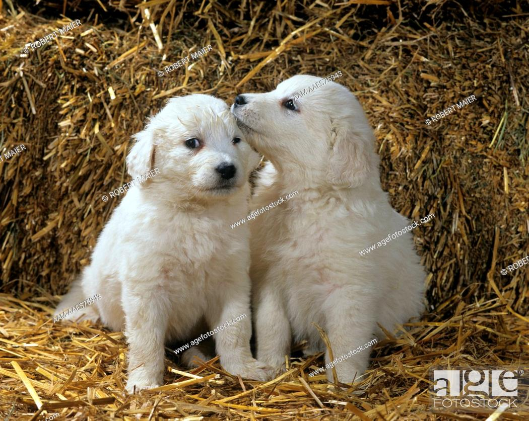 Kuvasz Puppies Hungarian Sheepdog Stock Photo Picture And Rights