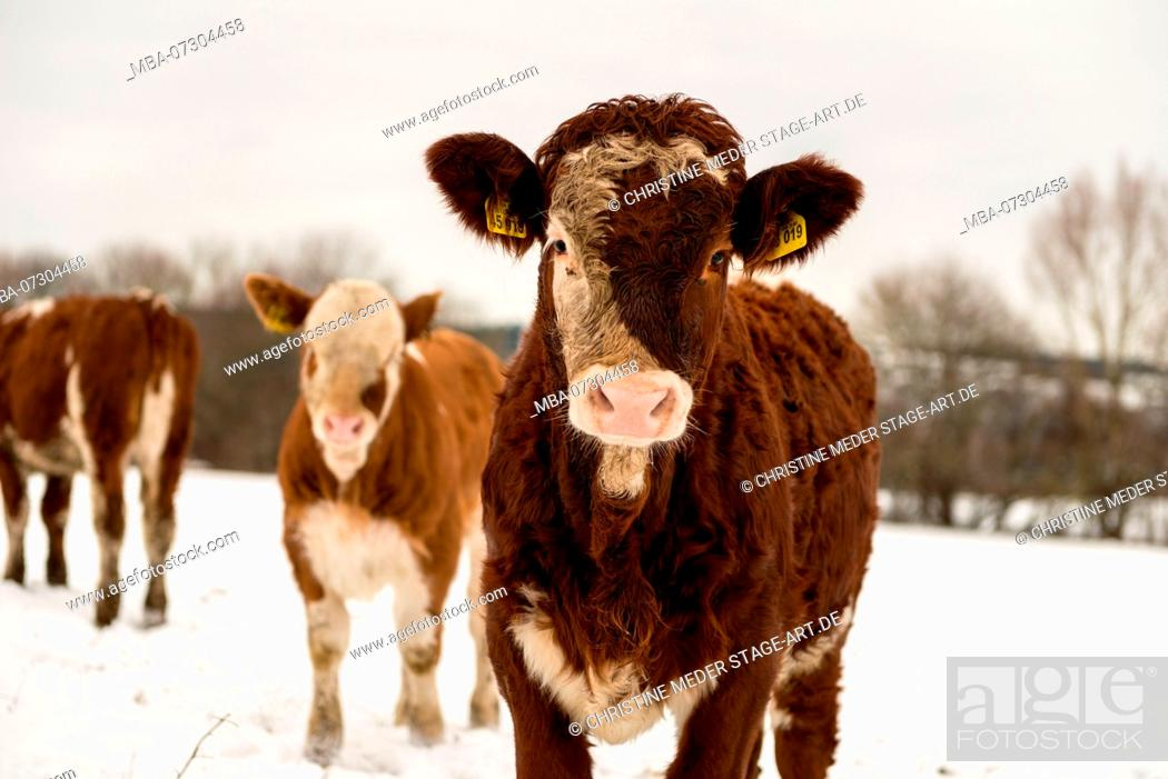 Stock Photo: Calves in snow, trip to the pasture.