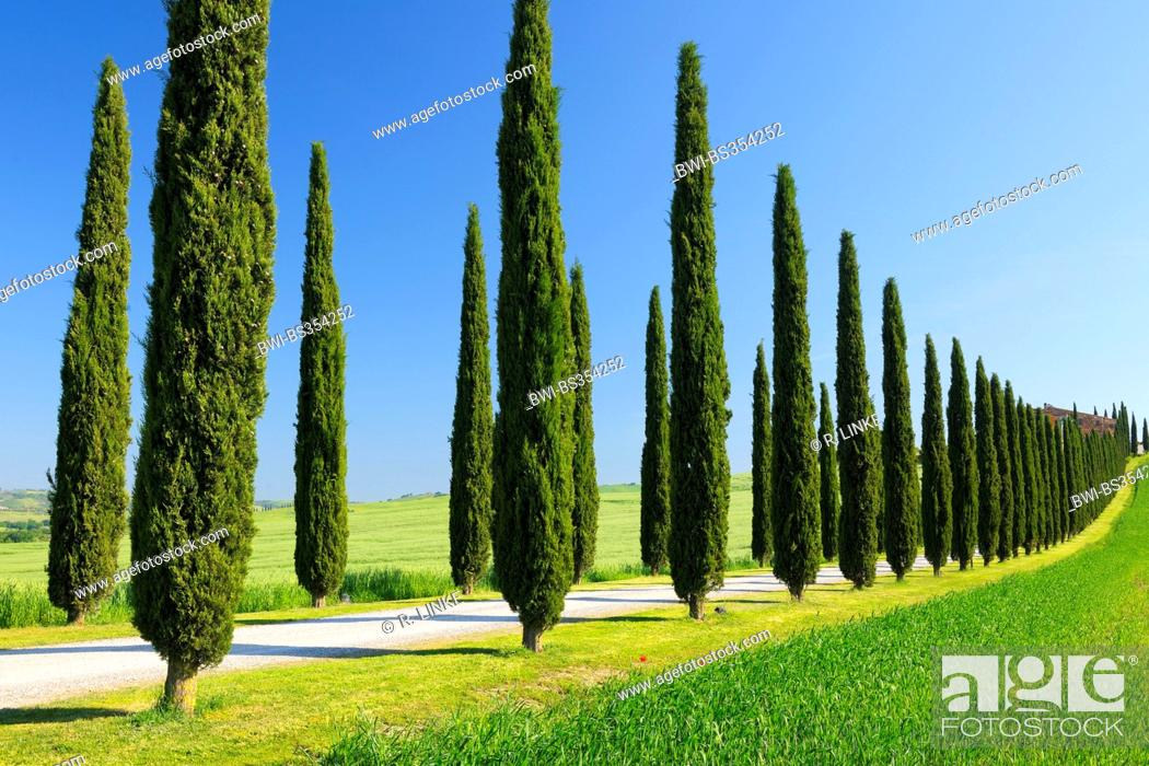 Stock Photo: Italian cypress (Cupressus sempervirens), Cypress Trees Avenue in Spring, San Quirico d' Orcia, Val d' Orcia, Italy, Tuscany.