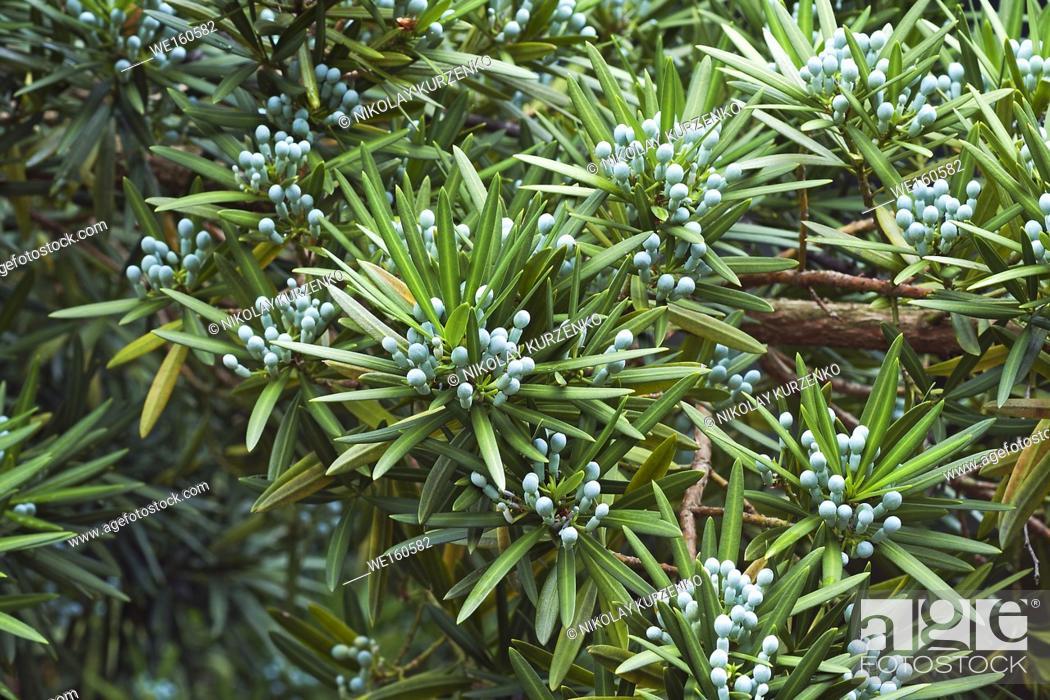 Stock Photo: Yew plum pine (Podocarpus macrophyllus). Called Buddhist pine, yew pine and Fern pine also.