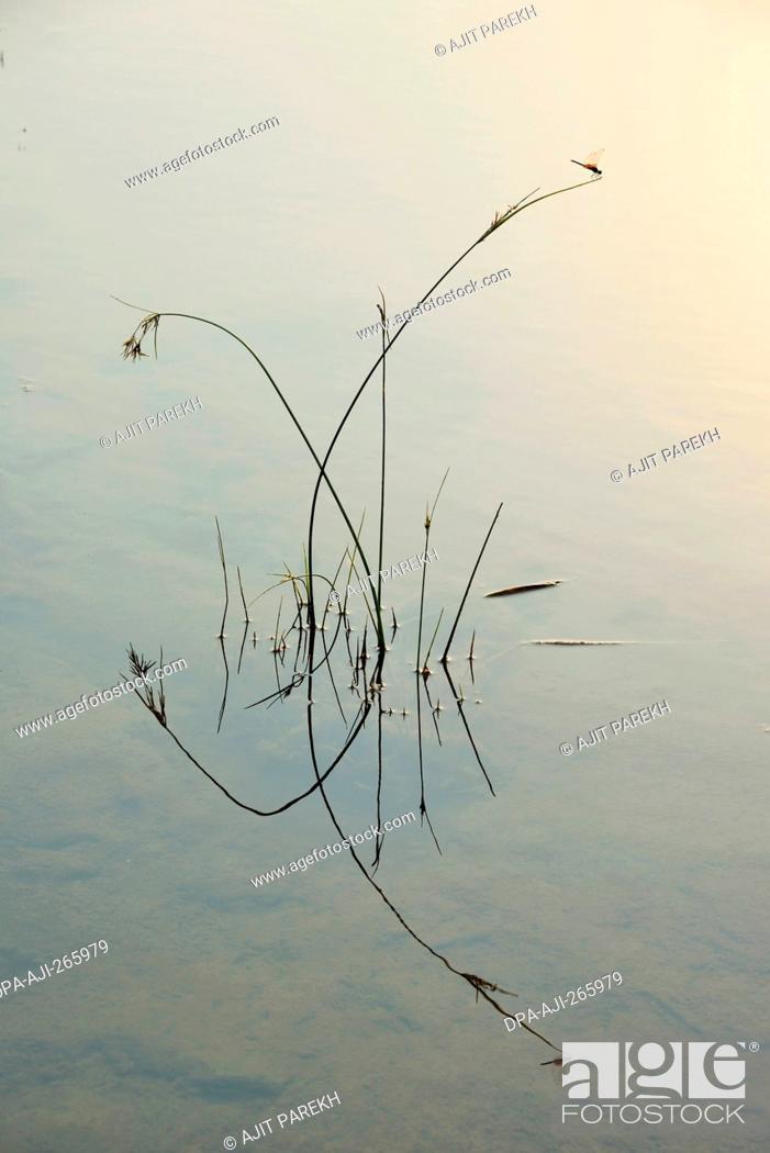 Imagen: Grass reflection in still water, Valsad, Gujarat, India, Asia.