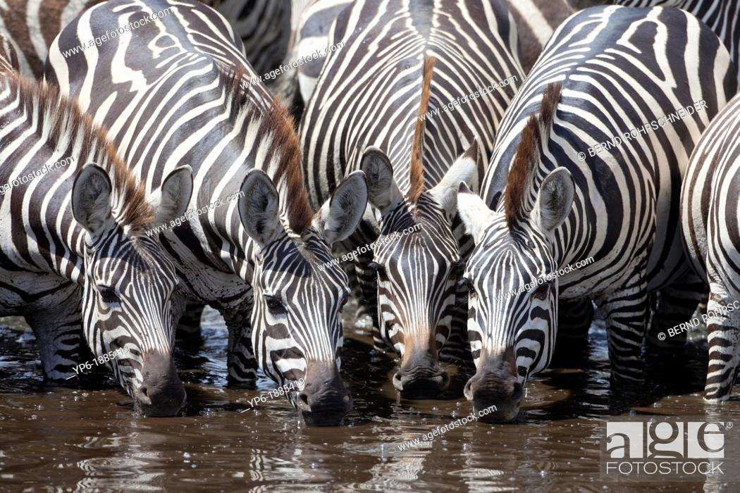 Stock Photo: Plains Zebras Equus quagga drinking at waterhole, Serengeti National Park, Tanzania.
