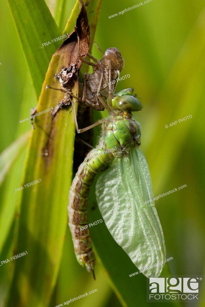 Imagen: Green Hawker Aeshna viridis - Woudbloem, Groningen, The Netherlands, Holland, Europe.