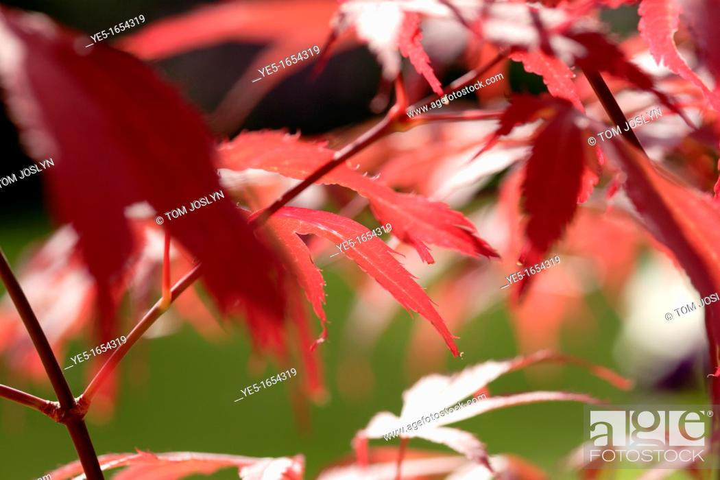 Stock Photo: Japanese maple leaves Acer palmatum 'Bloodgood' close up, England, UK.