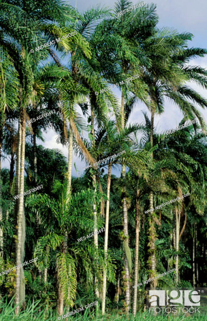 Stock Photo: Bejeballe Palms, Costa Rica.