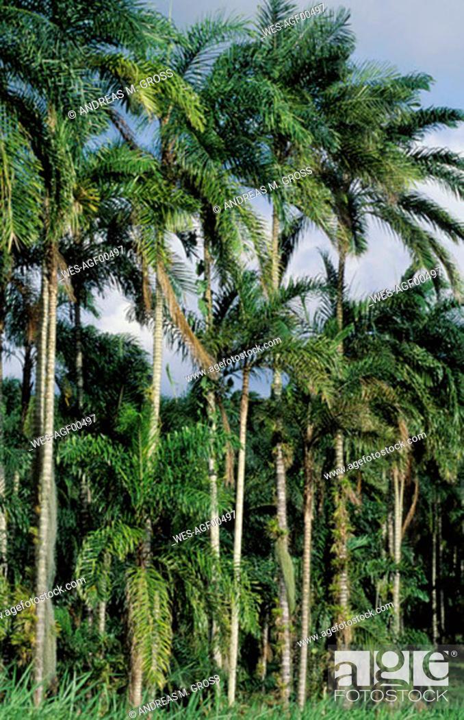Stock Photo: Bejeballe Palms, Costa Rica.
