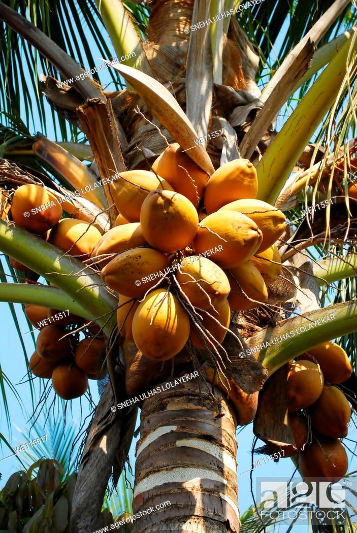 Imagen: Fruit, yellow coconut on coconut tree Goa India.