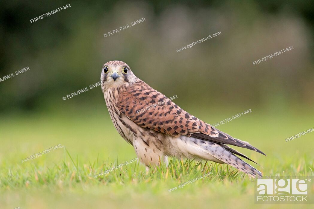 Stock Photo: Common Kestrel (Falco tinnunculus) juvenile, standing on grass, Suffolk, England, August (captive).