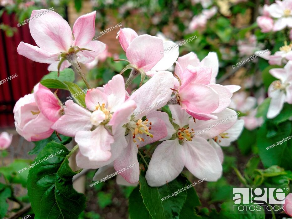 Stock Photo: Flowers rose colors apple tree branch blossoms in summer day nature.