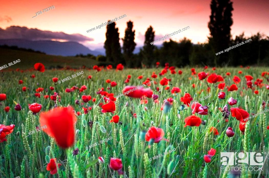 Stock Photo: Poppy (Papaver rhoeas) field at sunset.