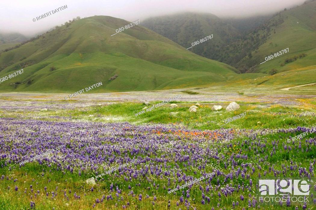 Stock Photo: Wildflowers bloom in the spring in Southern California.