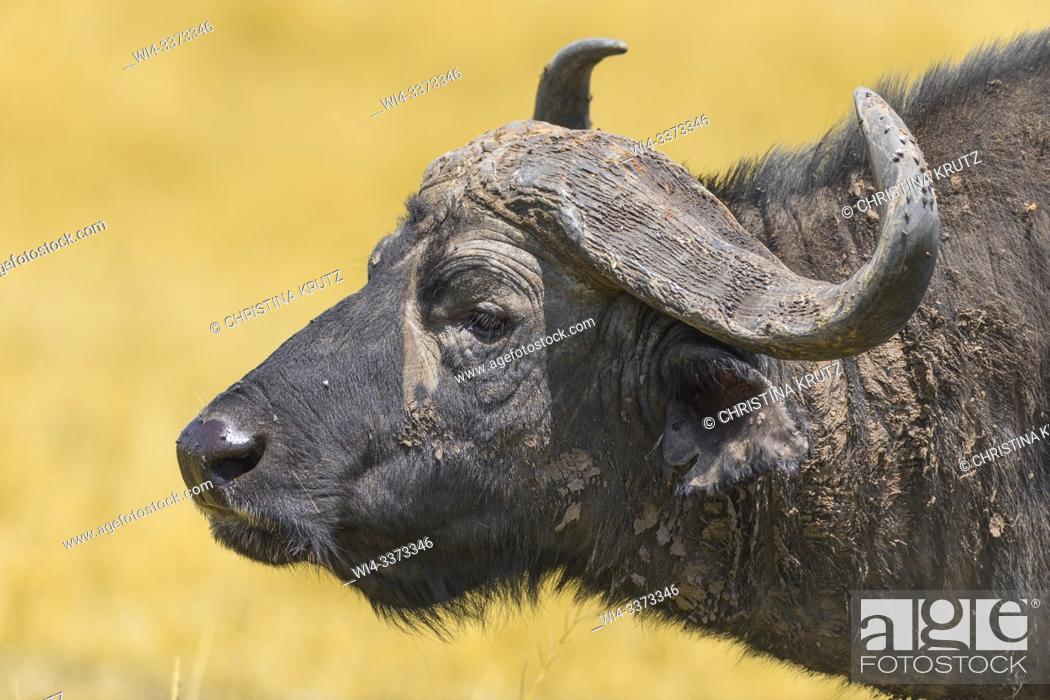 Stock Photo: African buffalo (Syncerus caffer), male, animal portrait, Masai Mara National Reserve, Kenya.