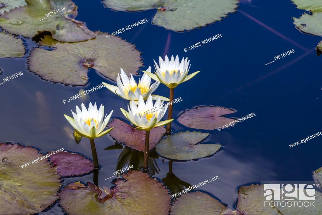 Imagen: Water Lilies in pond.