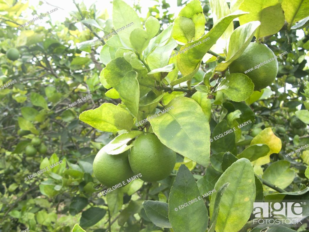 Stock Photo: Orange citrus trees orchard heavily infected with huanglongbing yellow dragon citrus greening plague deadly disease Venezuela.