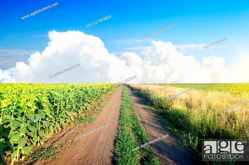 Stock Photo: Road in a sunflower field.