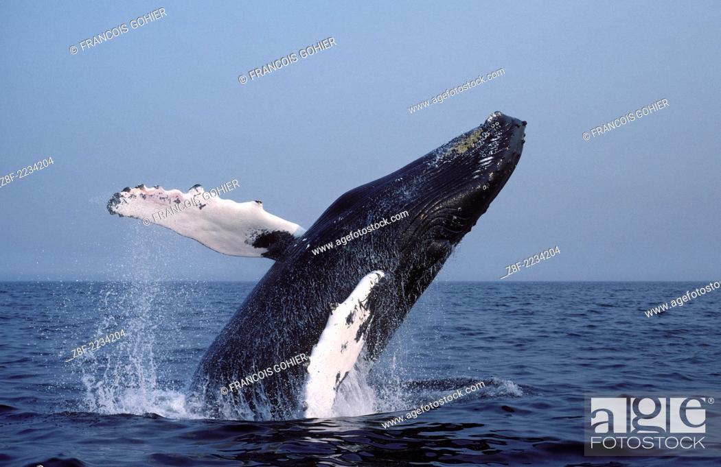 Imagen: Humpback whale.Megaptera novaeangliae.Breaching. Stellwagen Marine Sanctuary, Gulf of Maine, Atlantic Ocean.