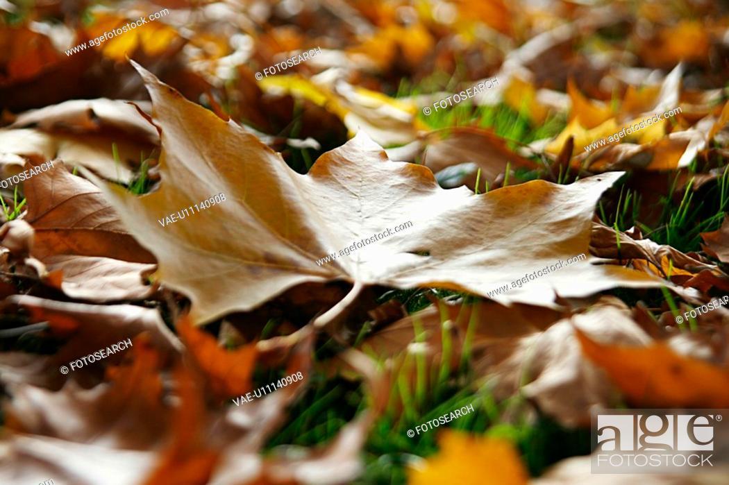 Stock Photo: close-up, alfred, CLOSE, brown, autumn, ahornbaum.