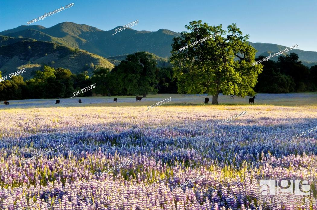 Stock Photo: Field of purple lupine wildflowers and oak trees in Spring, Ventana Wilderness, Los Padres National Forest, California.