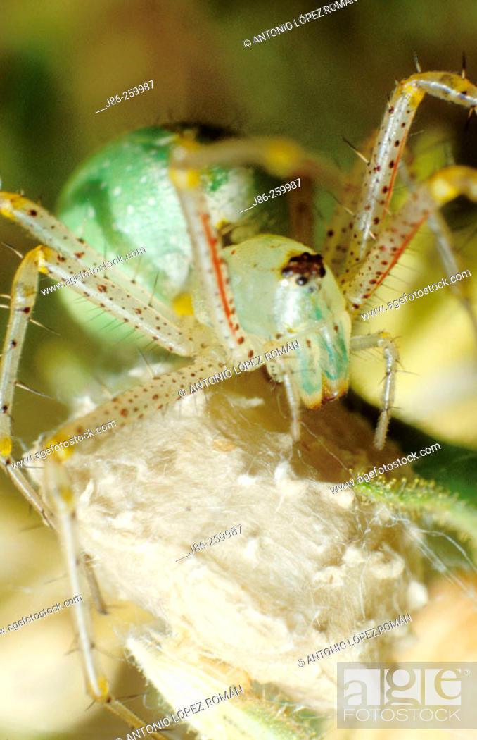 Stock Photo: Spider (Peucetis viridis) protecting its bag of eggs.