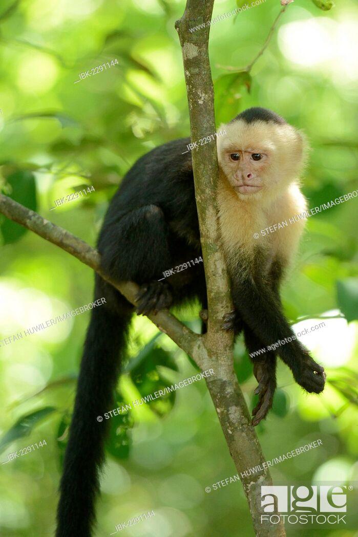 Stock Photo: White-headed or White-faced Capuchin (Cebus capucinus), Manuel Antonio National Park, Costa Rica, Central America.