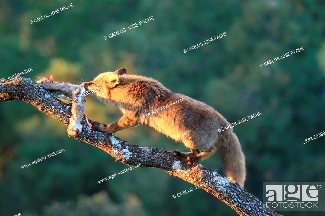 Stock Photo: Un zorro Común (vulpes vulpes). Parque Nacional de Monfragüe, Caceres, Extremadura, Spain.
