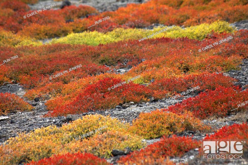 Stock Photo: Spectacular colours of Galapagos carpetweed Sesuvium edmonstonei on South Plaza Islet.